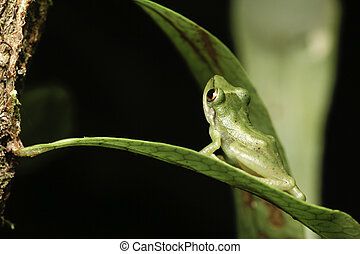 green tree frog looking up from jungle leaf