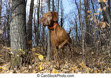 pointing golden dog in forest - hunting dog pointing in the...