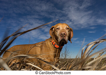 pure breed pointer seen through grass outdoors - low angle...