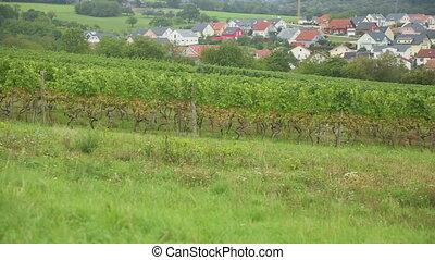 A vineyard in the village Eisingen