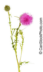 Beautiful thistle flower and unopened buds isolated on whited.