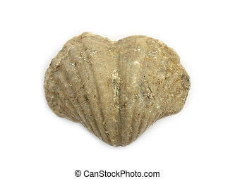 Heart shaped 400 million year old fossil brachiopod fron the...