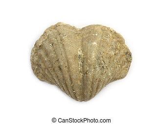 corazón, brachiopod, viejo, 400, formado, Oslo, millón,...