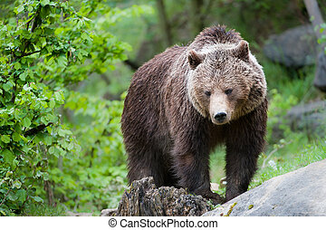 brown bear lat ursus arctos stainding in the forest