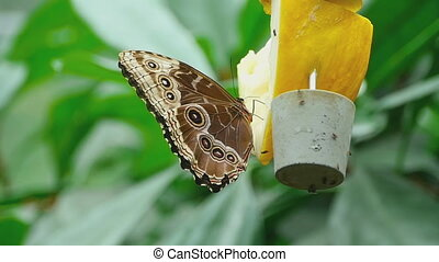Tropical butterfly feeding - Tropical butterfly and...
