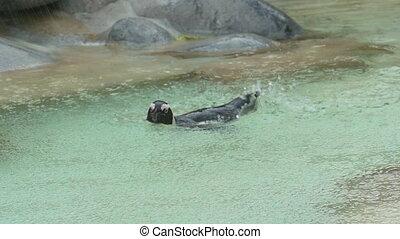 Penguin swimming under rain