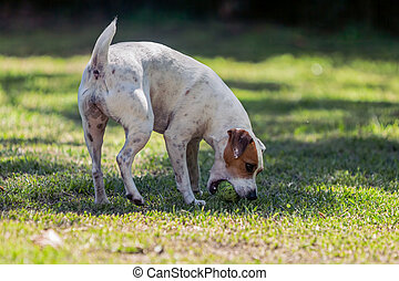 Dog Breed Jack Russell Terrier Playing In The Park - Dog...