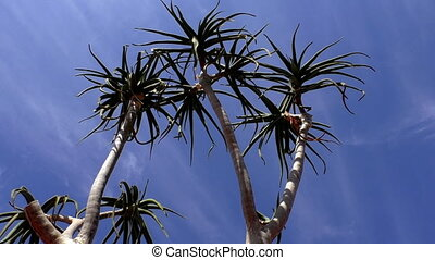 Aloe barberae against blue sky - Low angle view of African...