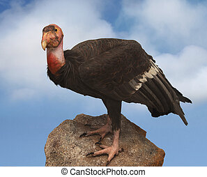 California condor vulture perched upon a rock with a partly...