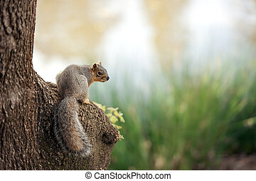 squirrel on the banks of a river - sciurus niger looking...