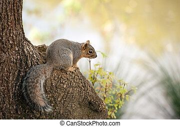 Sciurus niger, fox squirrel - a red squirrel perched on a...