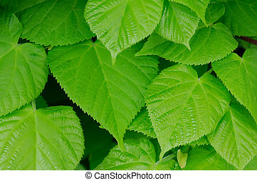 Beautiful green leaves - close up on green leaves
