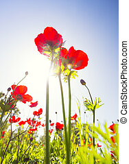 Red poppy field under summer sun