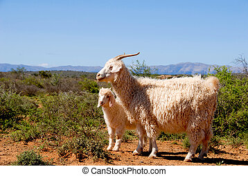 Adult Angora goat with lamb in the Karoo.