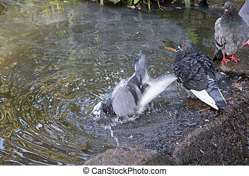 Homing Pigeon playing with water in the pond next to Rock...