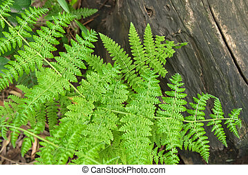Downy Ground Fern on old wooden log in the forest - Closeup...