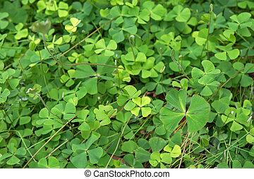 Common Nardoo, aquatic fern growing in wetland area in...
