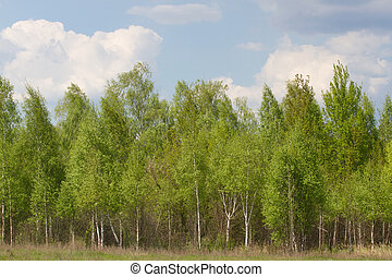 Birch grove on border with Belarus and Russia. Located in...