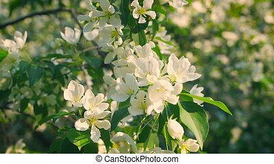 concept blossoming and renewal. Blooming apple tree in...