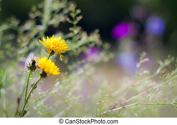 Yellow wildflower on a meadow