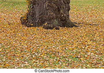 Deciduous trees with fallen dried yellow leaves during...
