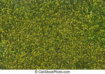 hedge - Texas privet hedge background