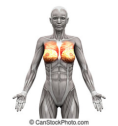 Chest Muscles - Pectoralis Major and Minor - Anatomy Muscles...