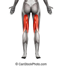 Hamstrings Muscles - Anatomy Muscle isolated on white - 3D...