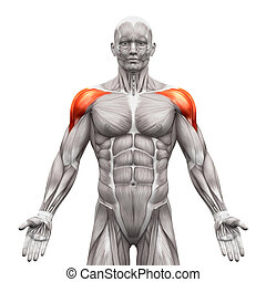 Deltoris Muscles Anterior - Anatomy Muscles isolated on white - 3D illustration