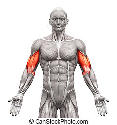 Biceps Muscles - Anatomy Muscles isolated on white - 3D...