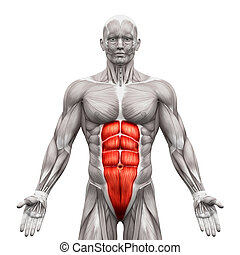 Rectus Abdominis - Abdominal Muscles - Anatomy Muscles...