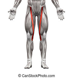 Sartorius Muscle - Anatomy Muscles isolated on white - 3D illustration