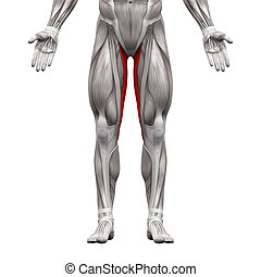 Gracilis Muscle - Anatomy Muscles isolated on white - 3D illustration
