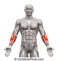 Forearm Muscles - Anatomy Muscles isolated on white - 3D illustration