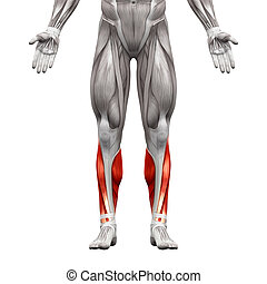 Calf Muscles - Anatomy Muscles isolated on white - 3D...