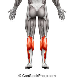 Calf Muscle Male - Gastrocnemius, Plantar Anatomy Muscle -...