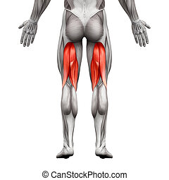 Hamstrings Male Muscles - Anatomy Muscle isolated on white - 3D illustration