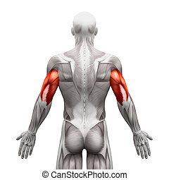 Triceps Muscles - Anatomy Muscles isolated on white - 3D illustration