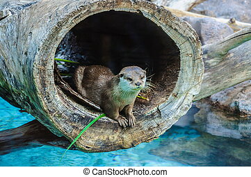 European Otter, Lutra lutra in Loro Parque, Tenerife, Canary...