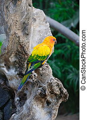 Colorful yellow parrot, Sun Conure Aratinga solstitialis, standi