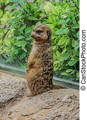 Suricate in Loro Parque, Tenerife, Canary Islands - Suricate...