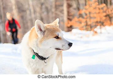 Woman hiking in winter forest with akita dog.