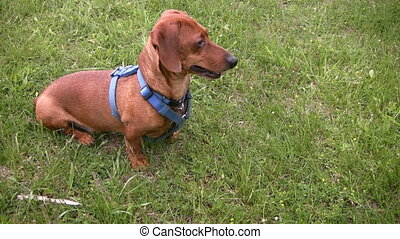 Alert miniature dachshund sitting a - An alert miniature...