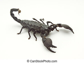 Scorpion Isomorphic - Black scorpion on a white background,...