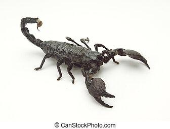 escorpião, Isomorphic