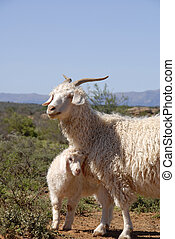 Adult Angora with lamb - Adult Angora with cute new born...