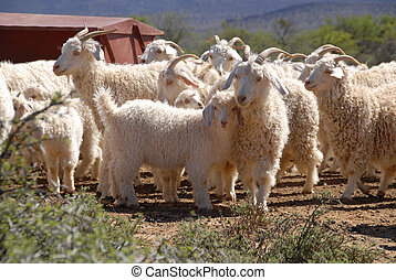 Flock of Angora goats - A flock of Angora goats in the...