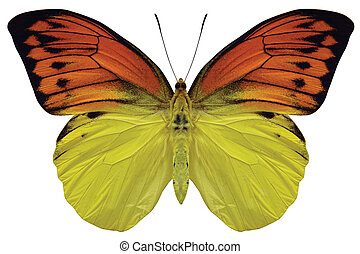 BUtterfly - Orange and yellow butterfly
