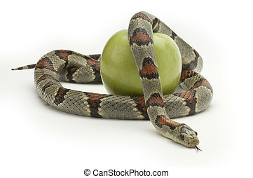 Tempation - Snake coiling around an apple on a white...