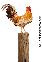 The Morning Rooster - Rooster perched upon a wooden post...